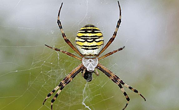 Крымские ядовитые пауки фото