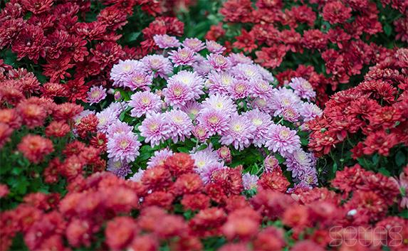 В «Лукоморье» проходит «Бал хризантем»