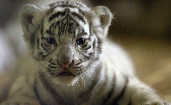 фото тигренок белый